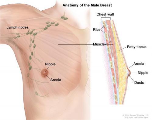 Male Breat Anatomy