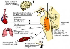 Respiratory Centers of the Medulla and Pons
