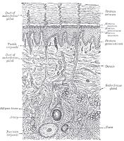 dermatology: skin diagram
