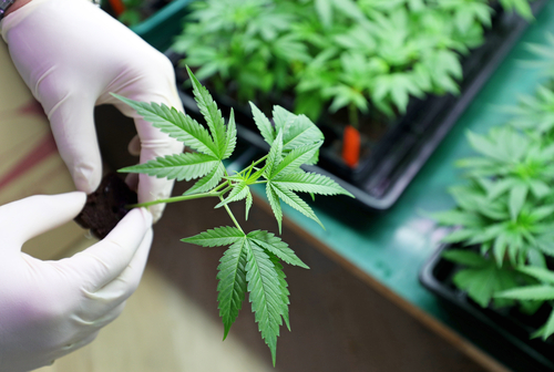 Navigating The Changing Landscape Of The Medical Marijuana Industry
